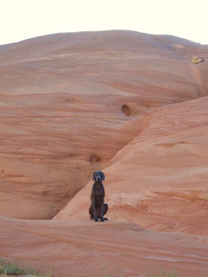 Weimarner sitting pretty on the red rocks on Lake Powell